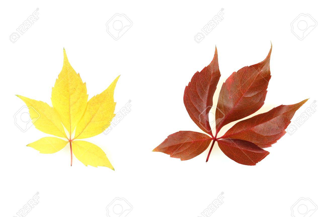 automne - octobre arbre coloré feuilles. isolé des feuilles de vigne