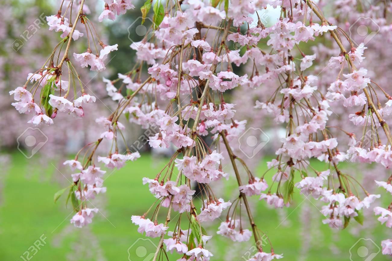 Hirosaki Japon Fleurs De Cerisier Pleureur Sakura Au Parc Du