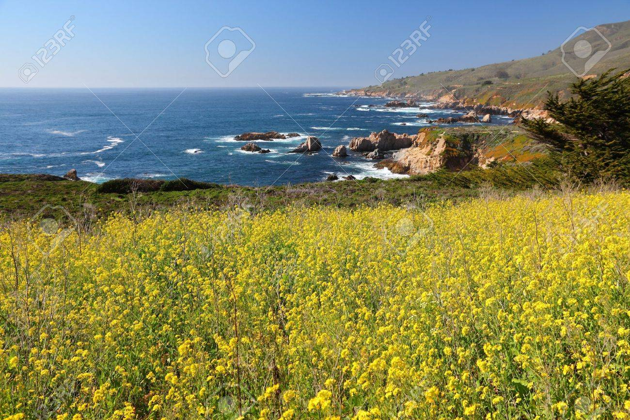 California united states pacific coast view with canola field california united states pacific coast view with canola field in garrapata state park in publicscrutiny Image collections