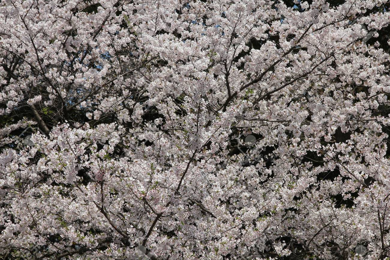 Cherry Blossoms In Tokyo Japan White Flowers On Cherry Trees