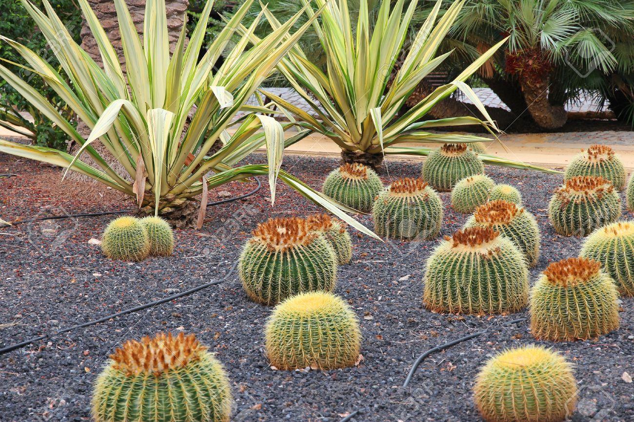 Cacti Garden In Santa Cruz De Tenerife, Spain. Garcia Sanabria Park. Stock  Photo