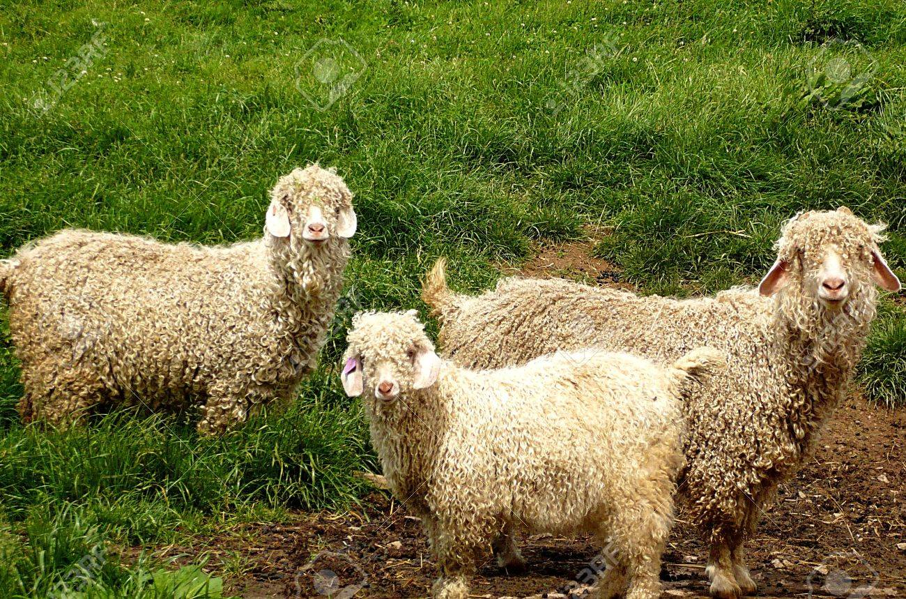 Angora goats with their young one on an Exmoor farm, South West England Stock Photo - 3930861