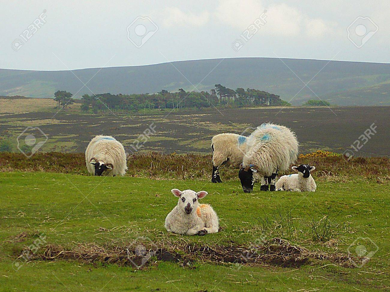 Sheep and lambs high up on Exmoor, South West England Stock Photo - 9937422