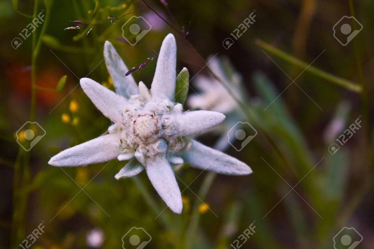 Plan Rapproche D Une Fleur Edelweiss Banque D Images Et Photos