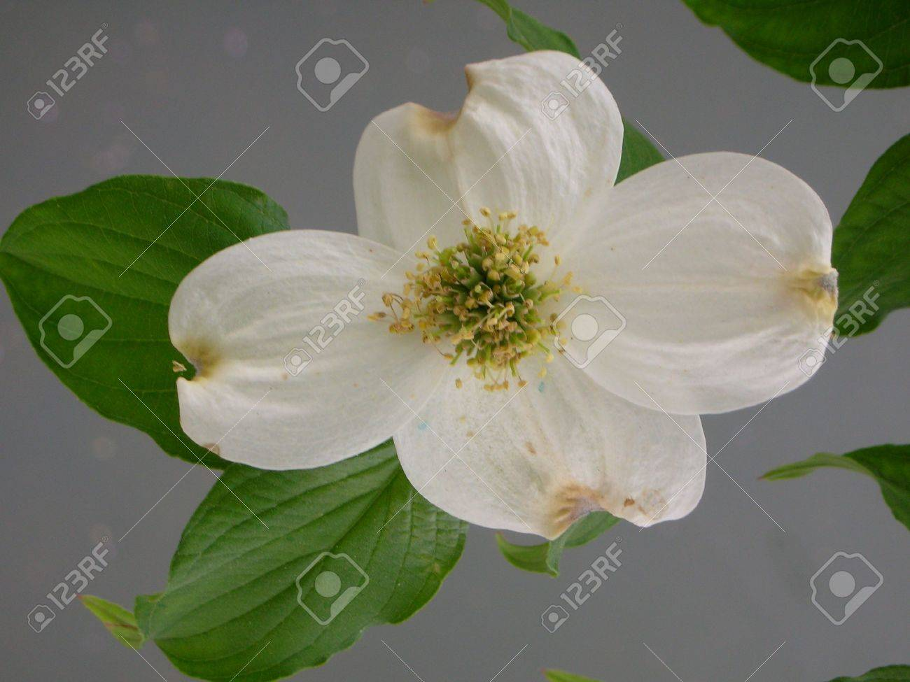 White Dogwood Flower And Leaves Stock Photo Picture And Royalty