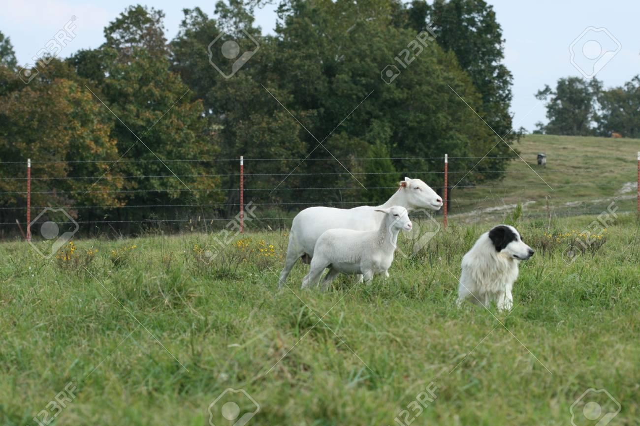 Canine, ewe and lamb Stock Photo - 3699425