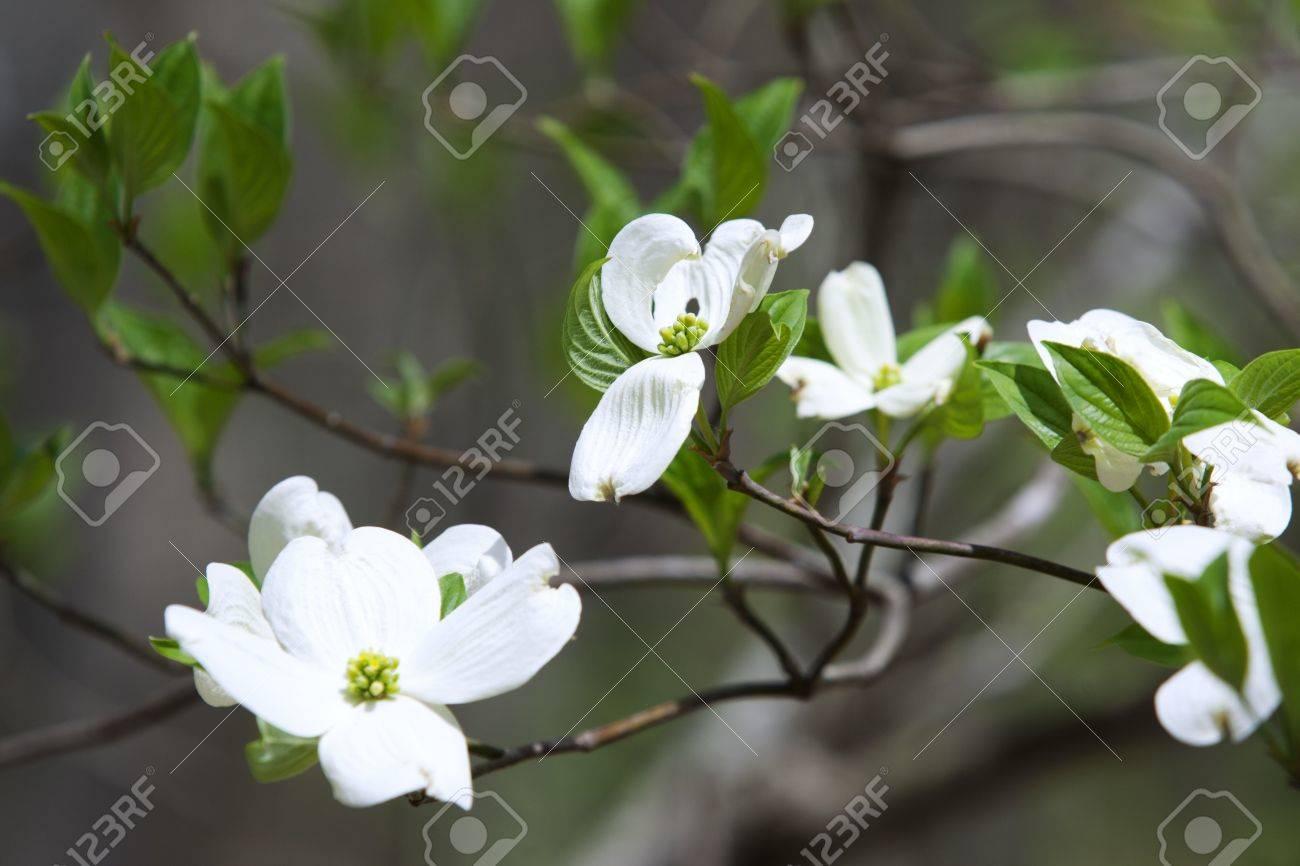 Lovely springtime Dogwood tree blooms Stock Photo - 9280759