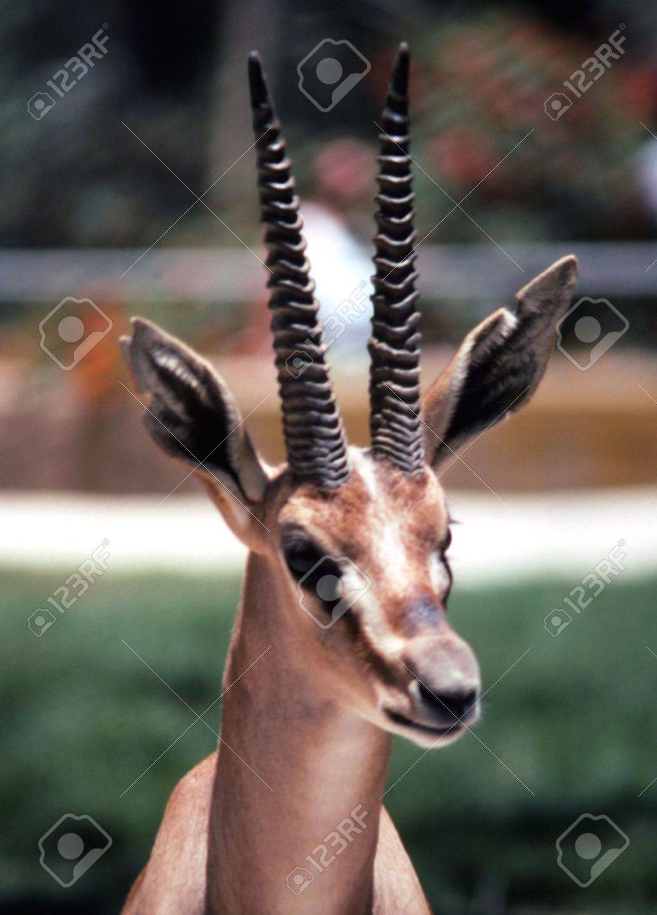 Gazelle Head Stock Photo, Picture And Royalty Free Image. Image ...