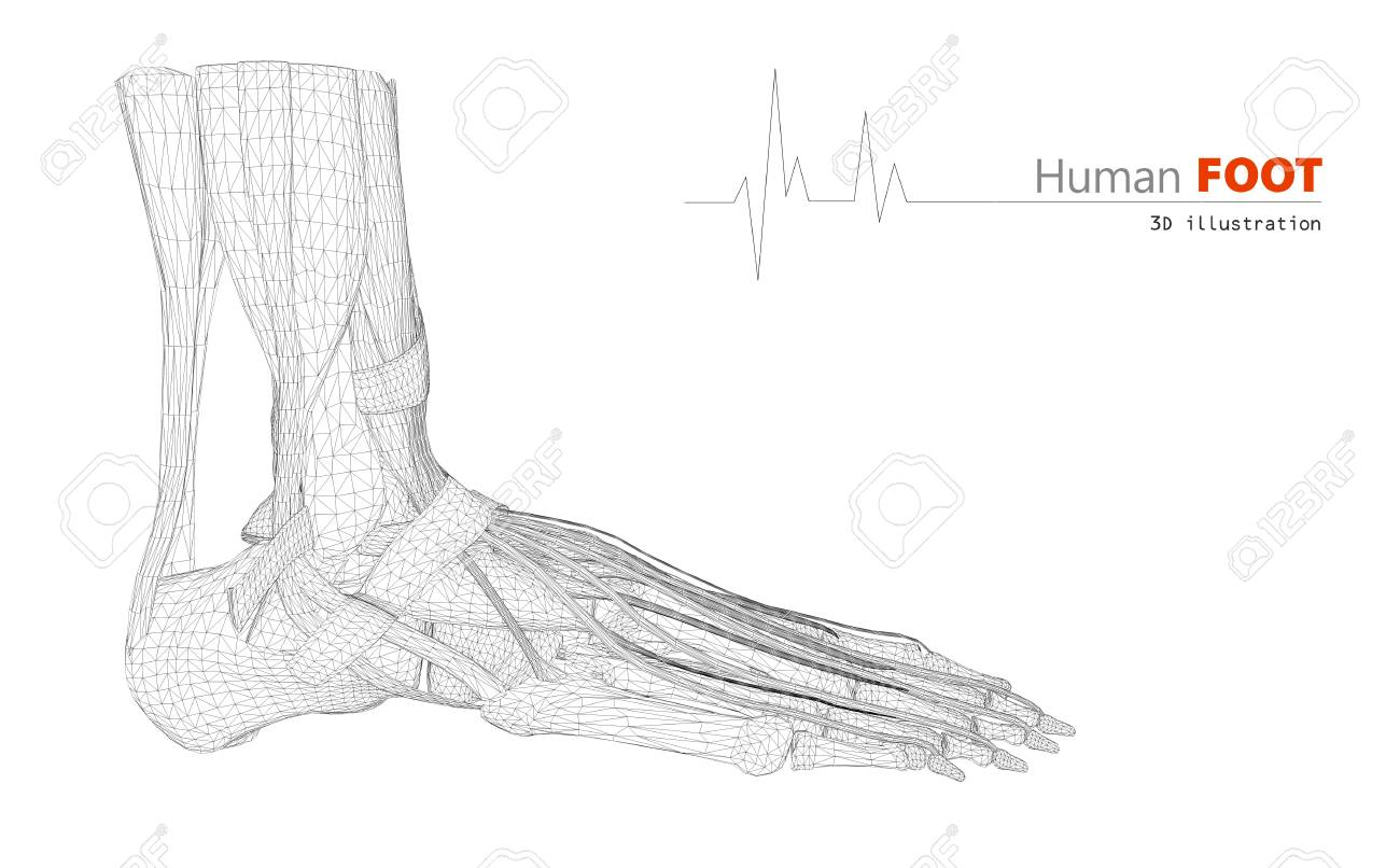 3d Illustration On Human Anatomy Foot Isolated Background Stock