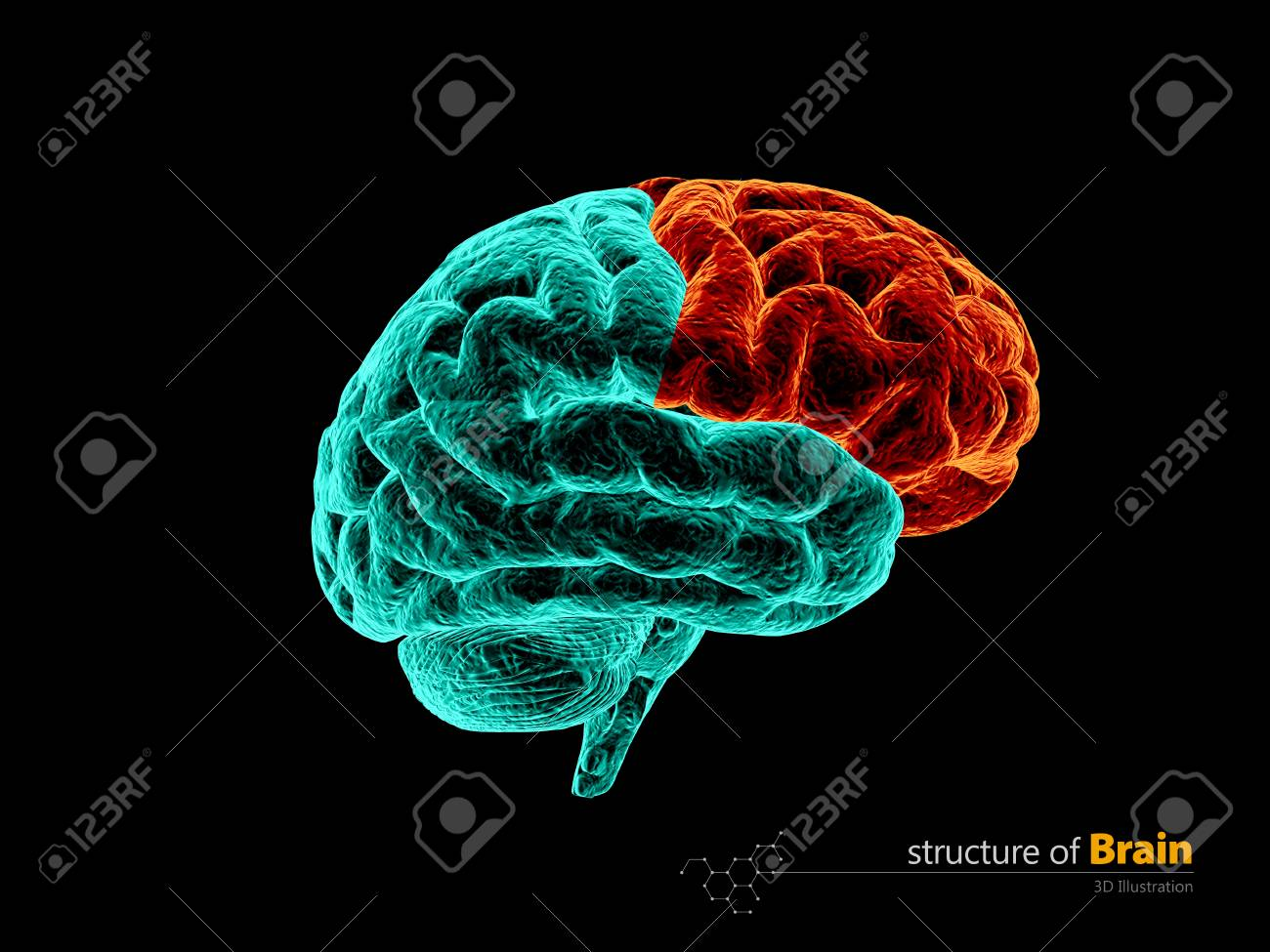 Human Brain, Frontal Lobe Anatomy Structure. Human Brain Anatomy ...