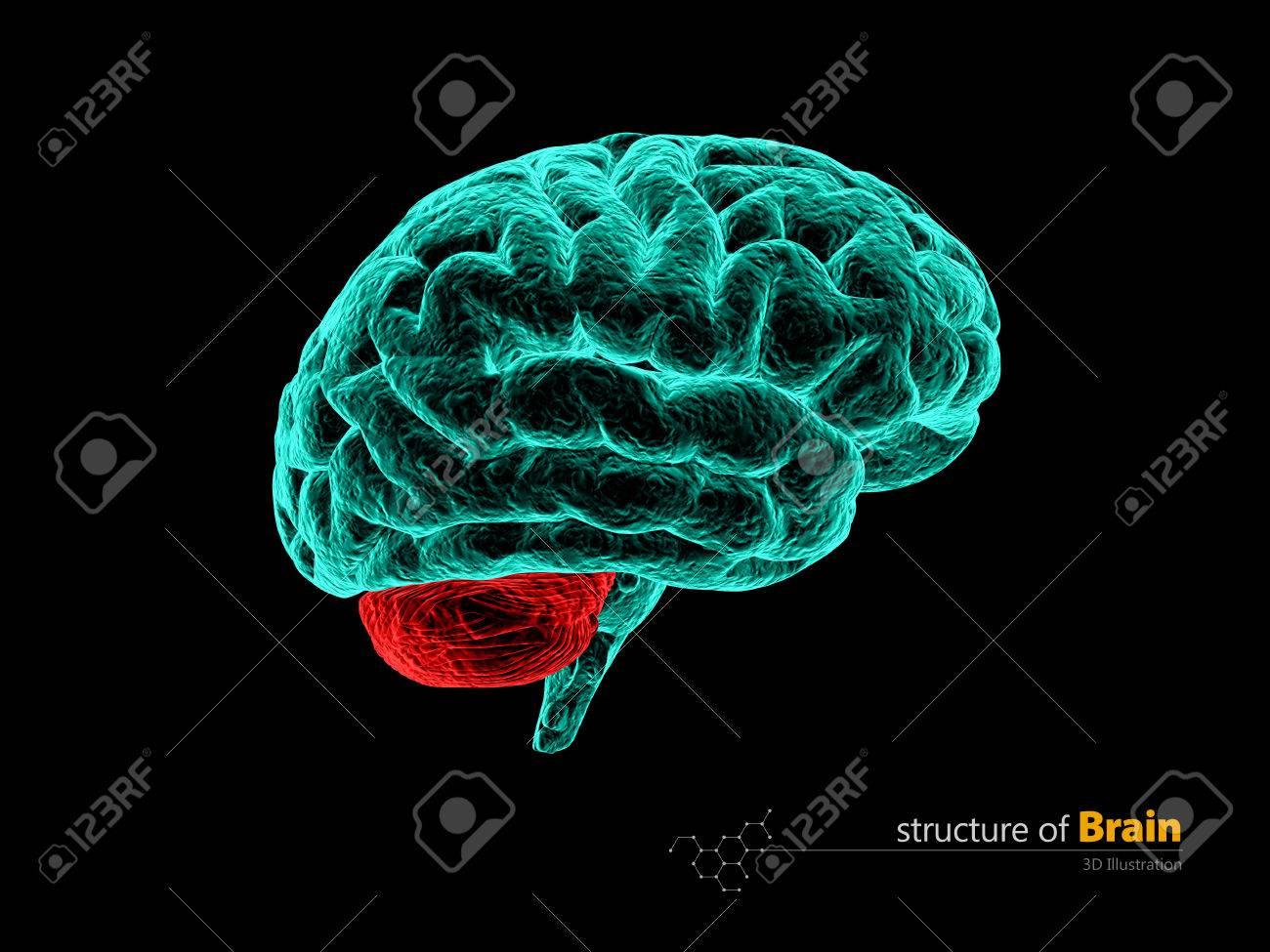 Human Brain Cerebelum Anatomy Structure Human Brain Anatomy