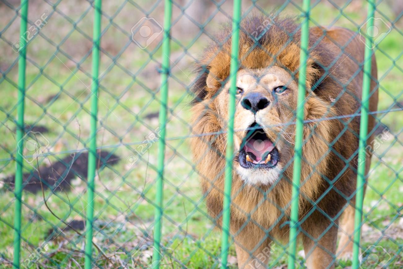 Lion in the zoo behind the fence - 106318263