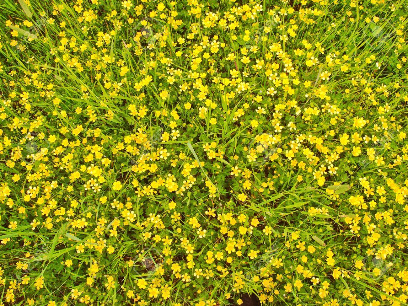 Meadow Covered With Lots Of Wild Yellow Flowers Stock Photo Picture