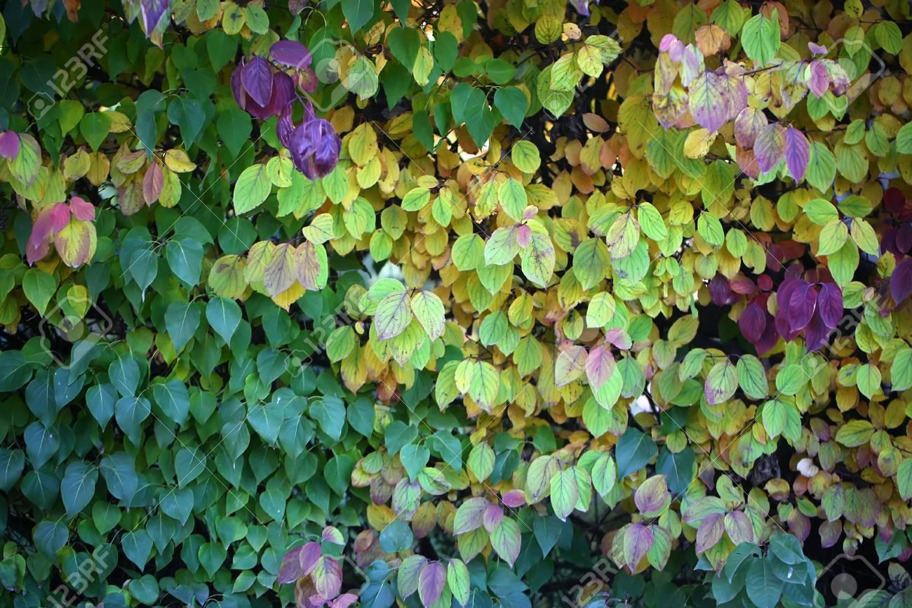 Photo Closeup Of Beautiful Autumn Verdant Hedge Bushes Trees.. Stock ...