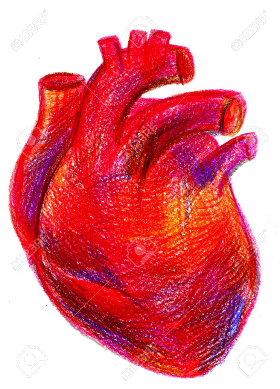 Gros Plan Dessiné Main Multicolore Crayon Dessin Crayon Portrait Anatomique De Carmin Un Rouge Sang Cavité Cardiaque Du Coeur Humain Avec De Grands