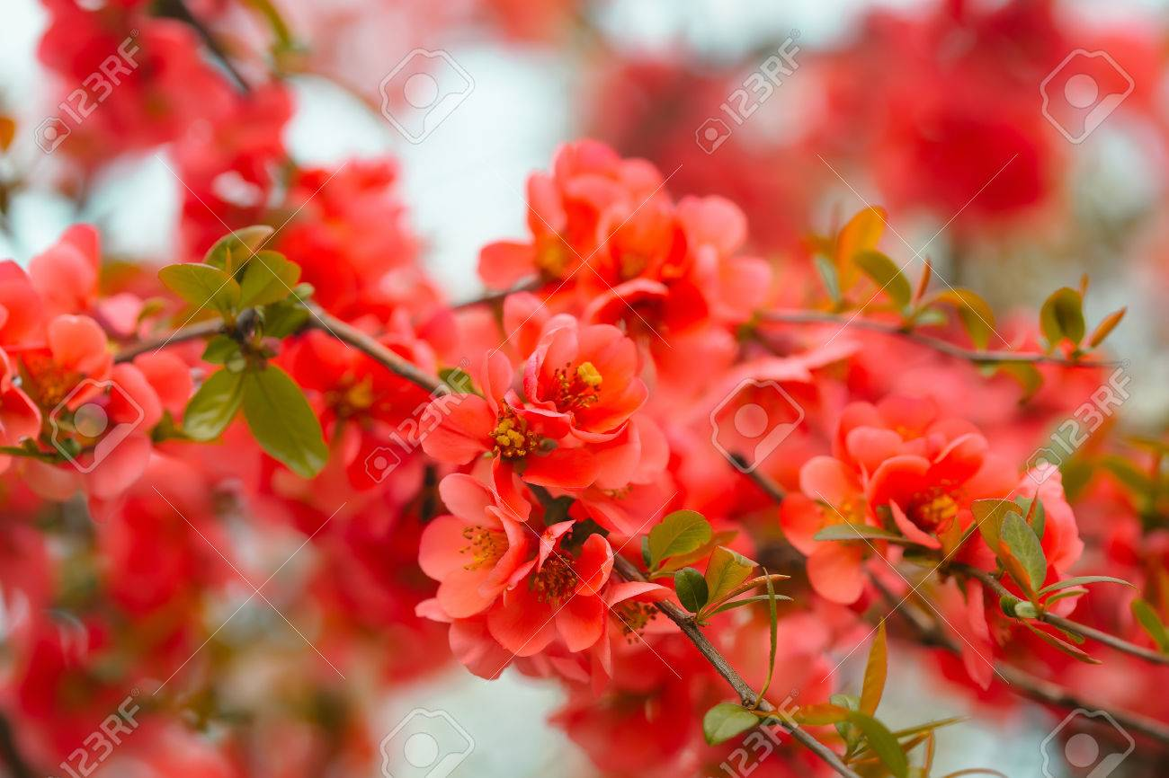 Cherry blossom close up with red beautiful fresh flowers sunny cherry blossom close up with red beautiful fresh flowers sunny day floral natural background izmirmasajfo