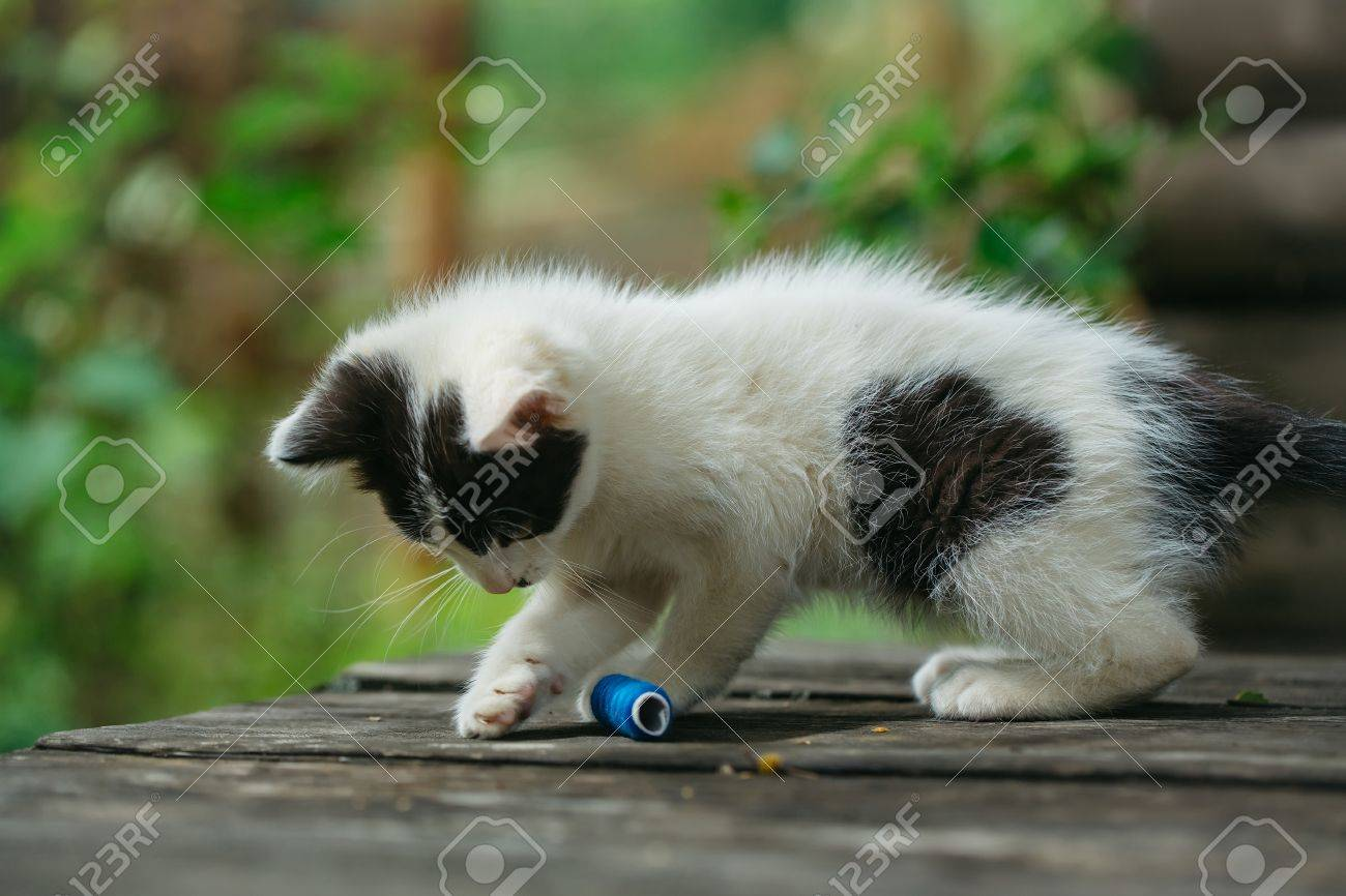 Color of cats fur - Stock Photo Cute Small Lovely Curious Baby Cat Or Kitten With White Color Spotted Fur And Whiskers Playing With Blue Thread On Wooden Board Outdoor