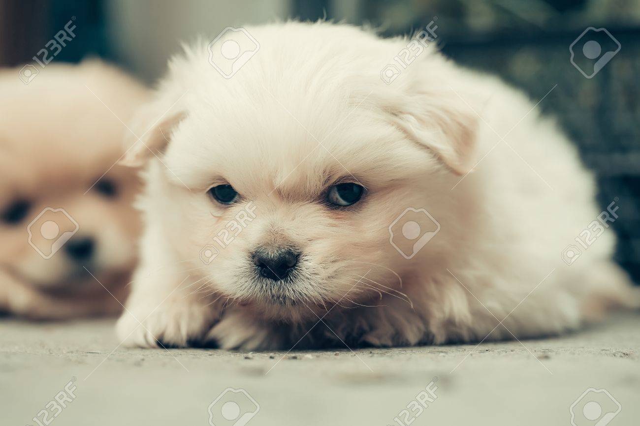 Small Dog Puppy Pet With Beige Fluffy Plush Fur And Funny Cute Stock Photo Picture And Royalty Free Image Image 63575763