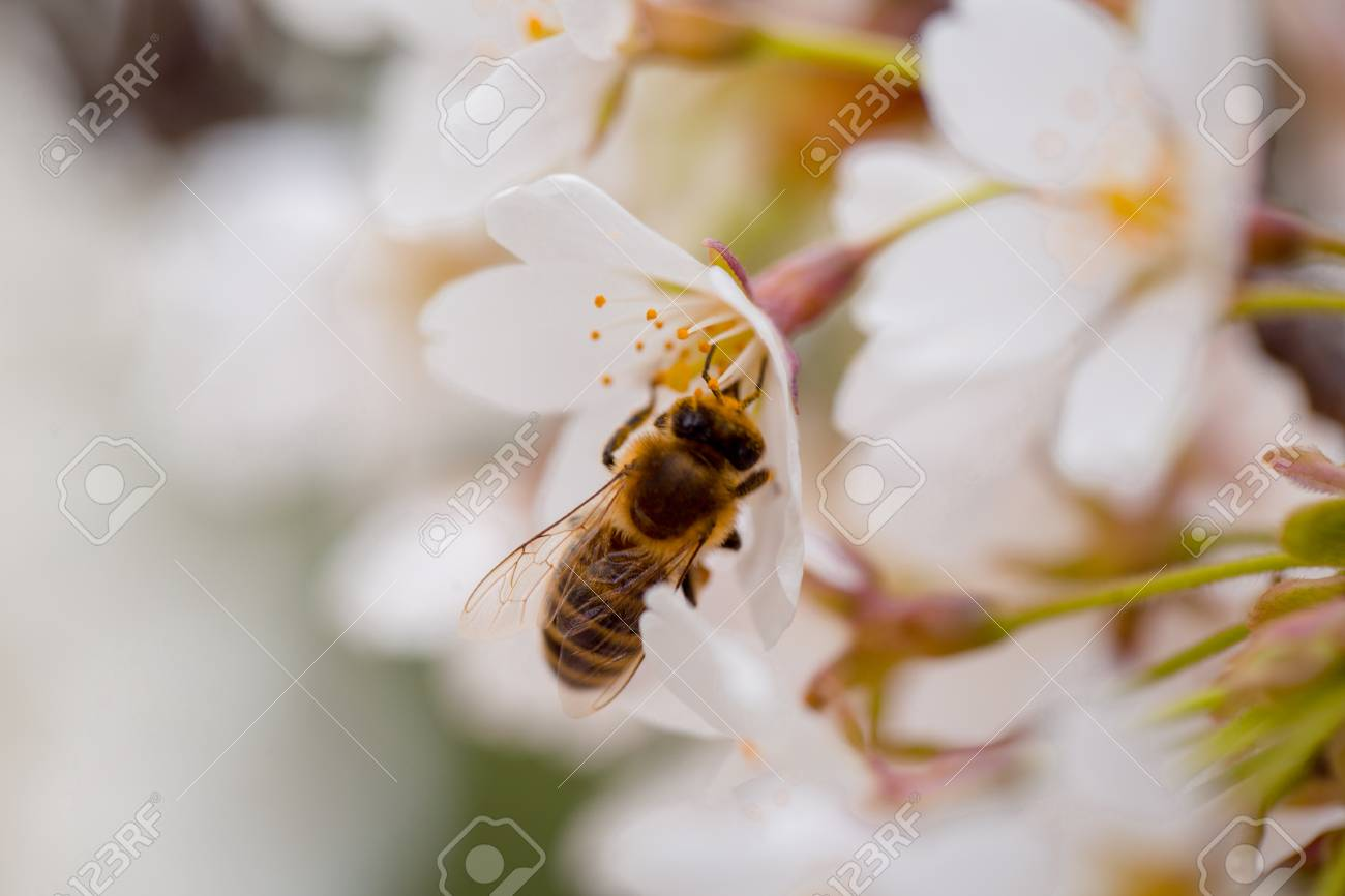 bee insect on white sakura flower blossoming as natural background