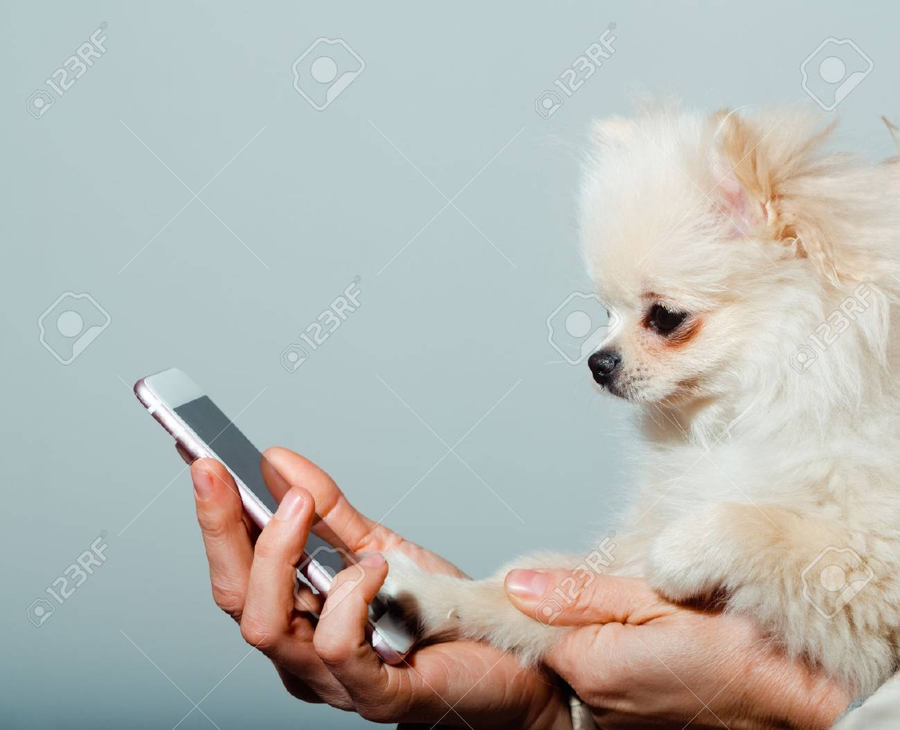 Cute pomeranian dog or puppy pet, with fawn coat using smartphone, mobile phone, in cute, faux fur cover in female hands on grey background - 74189041