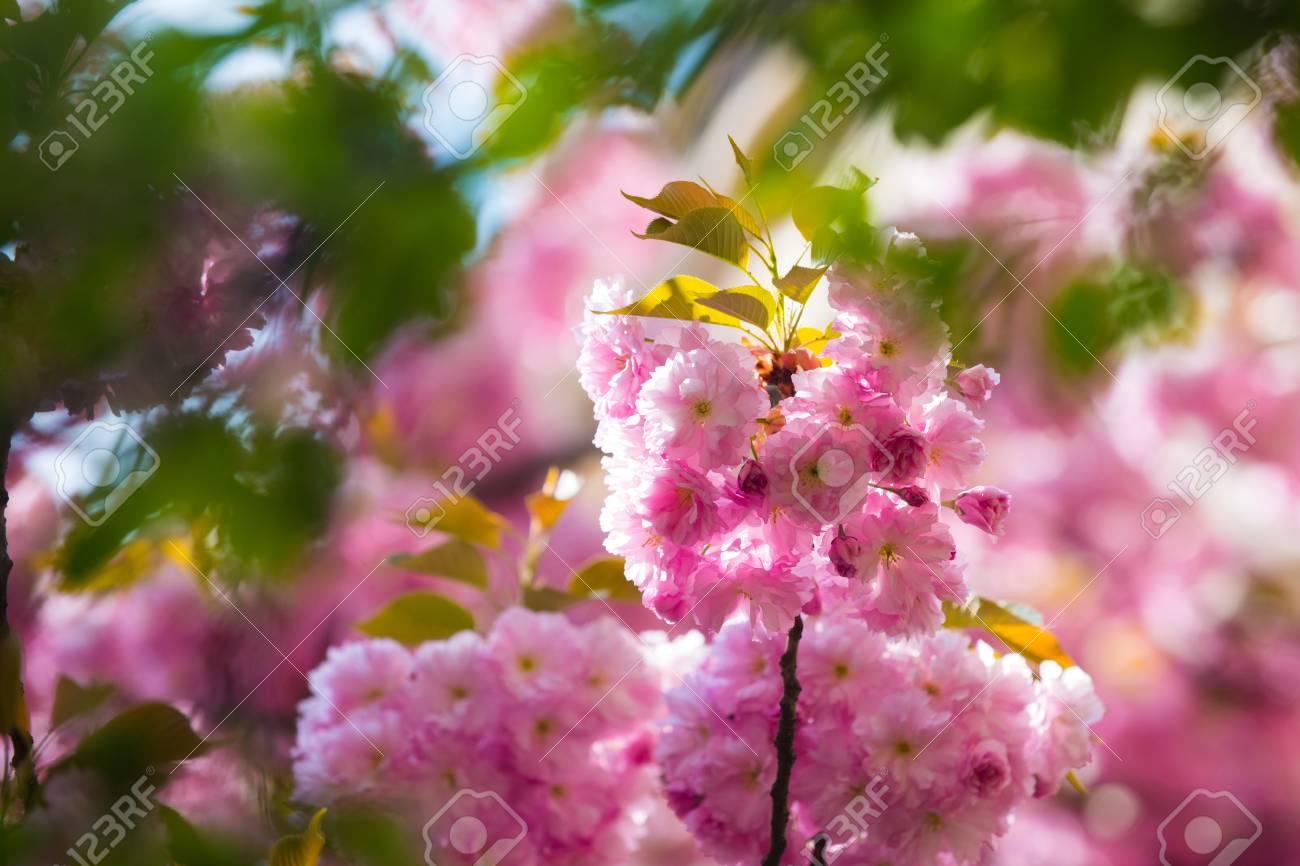 Cherry Blossom Or Sakura Flower In Spring Season At Japan On Stock