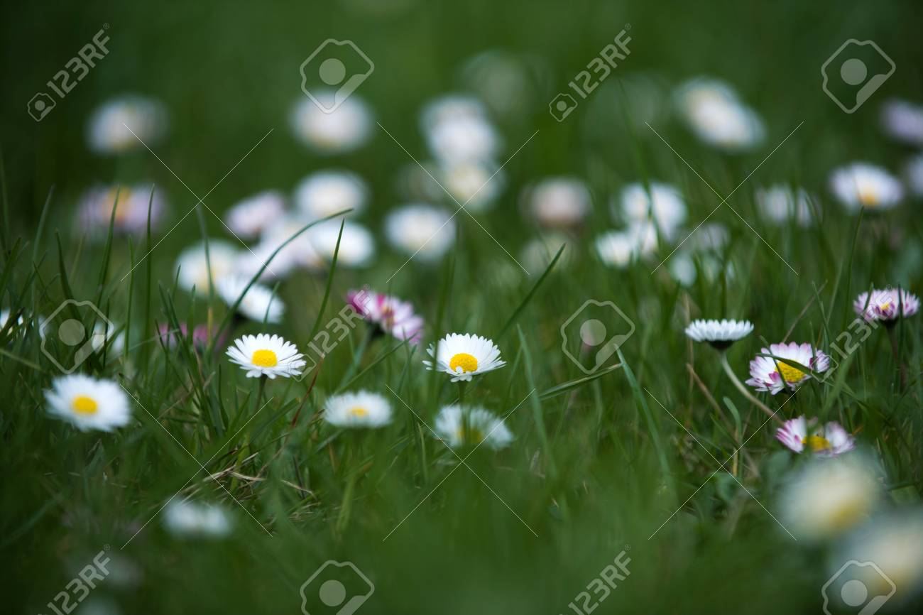 Flower of daisy with white petals on fresh green grass as natural flower of daisy with white petals on fresh green grass as natural spring background stock photo izmirmasajfo