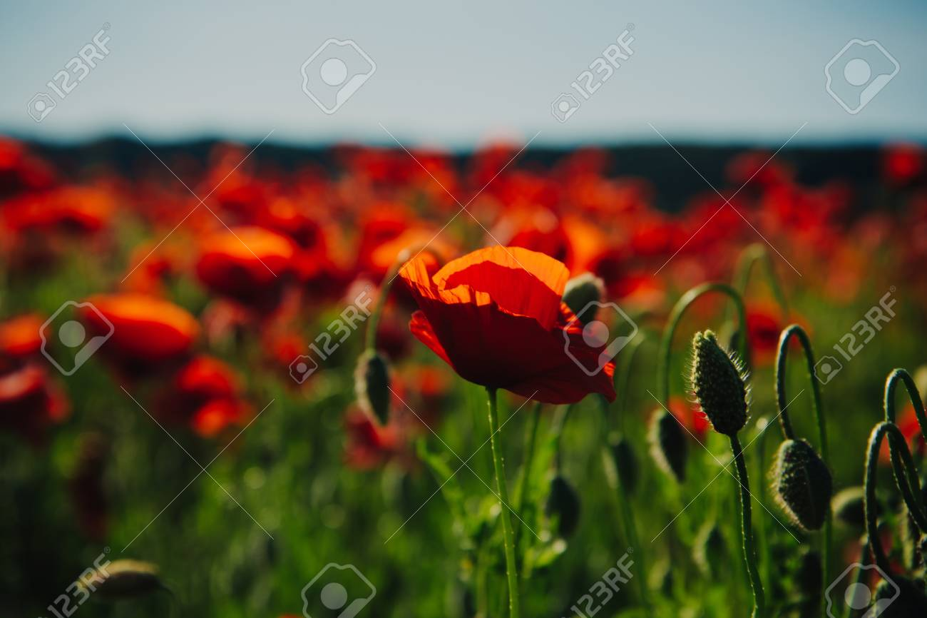 Poppy Seed Or Red Flower In Field On Green Stem Summer And Spring