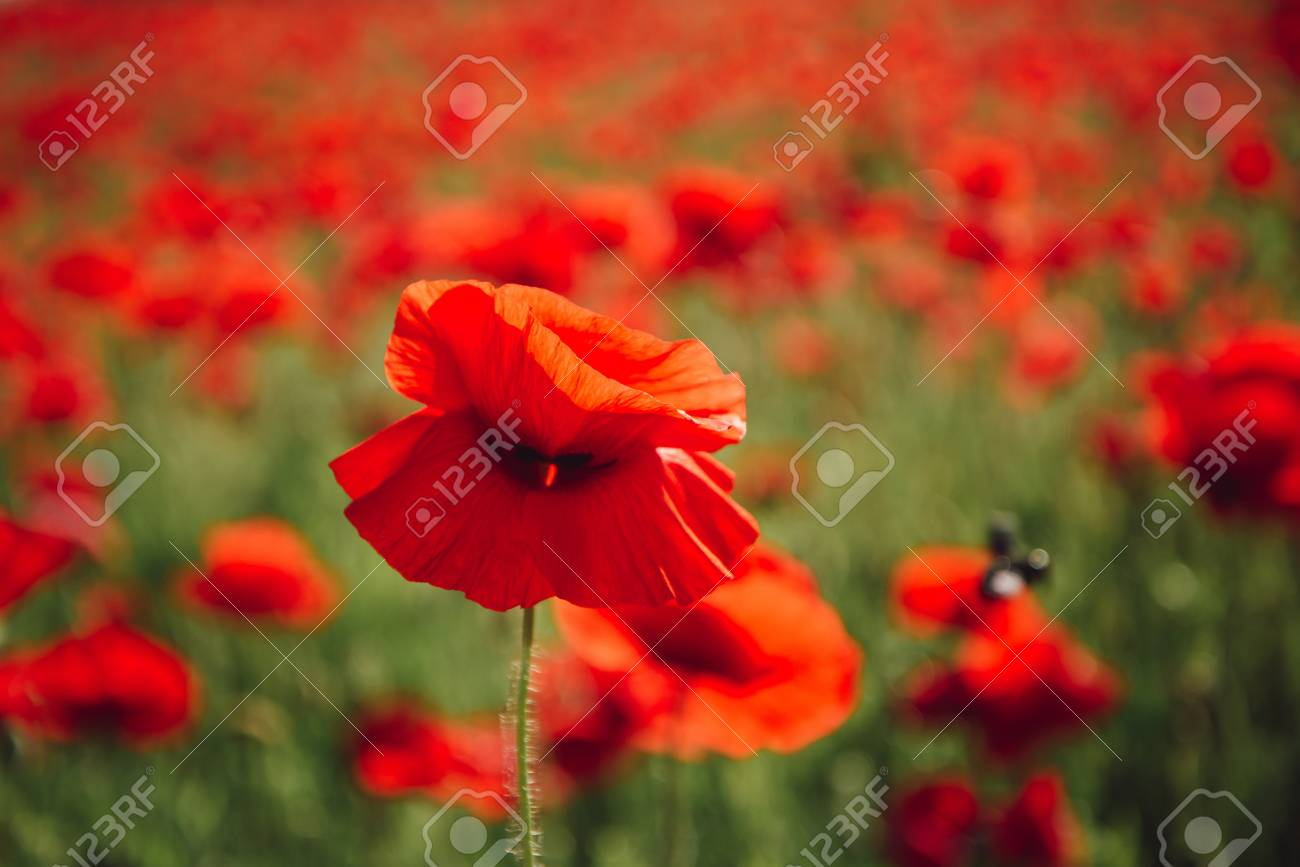 Beauty In Nature Field Of Red Poppy Seed Flower On Green Stem