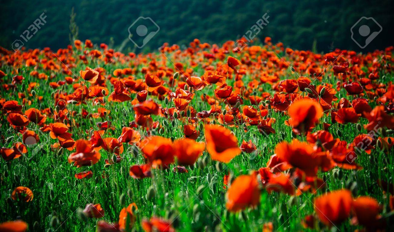 Flower field red poppy seed on green stem summer and spring flower field red poppy seed on green stem summer and spring drug and mightylinksfo