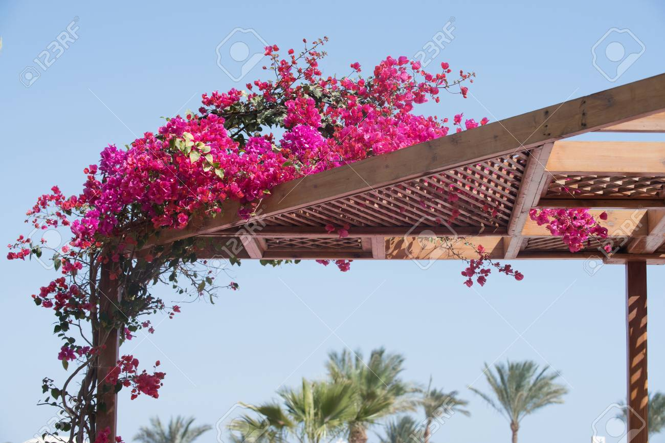 Blooming Bush Curly Plant With Pink Summer Flowers Enlace With