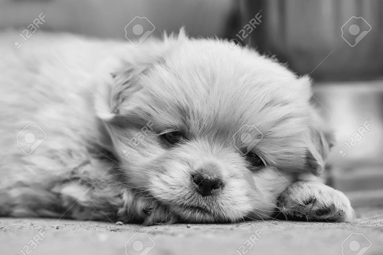 Small Dog Puppy Pet With Beige Fluffy Plush Fur And Funny Cute Stock Photo Picture And Royalty Free Image Image 89106675