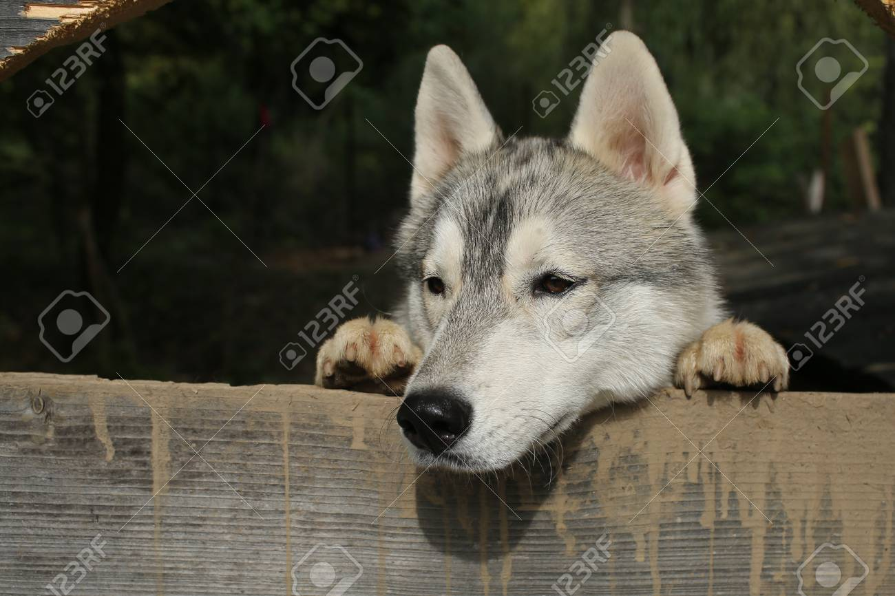 Christmas Wolf.Zoo Shelter Farm Or Captivity Husky Or Wolf At Wooden Background