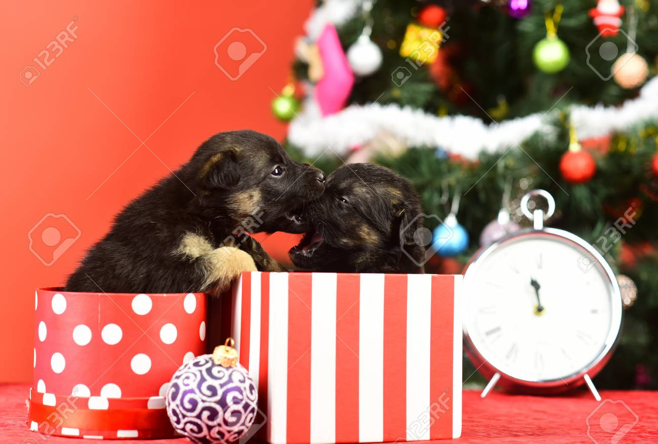 New Year Cute Puppy Gift At Clock Santa Puppy At Christmas Stock Photo Picture And Royalty Free Image Image 90547617