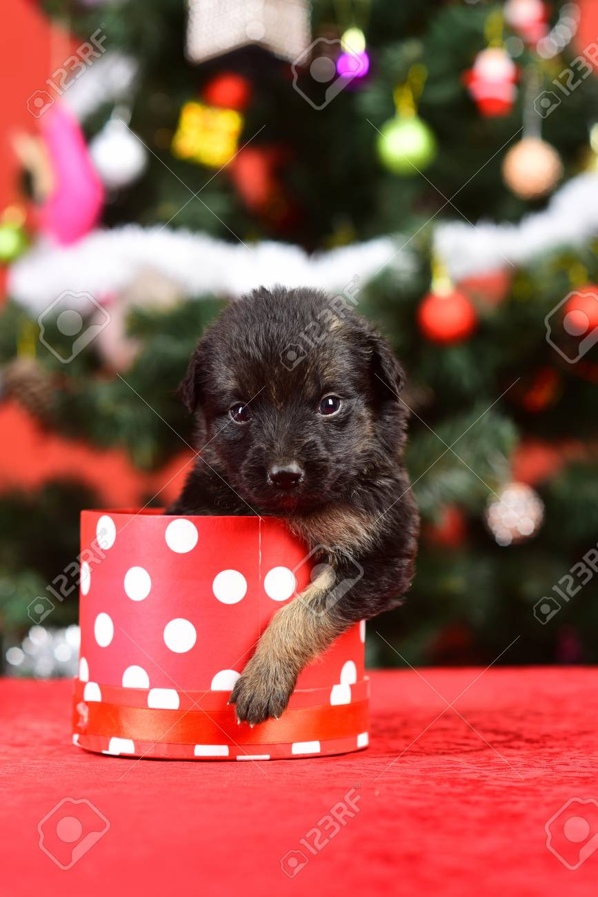 Santa Puppy At Christmas Tree In Present Box Dog Year Pet And Stock Photo Picture And Royalty Free Image Image 90600254