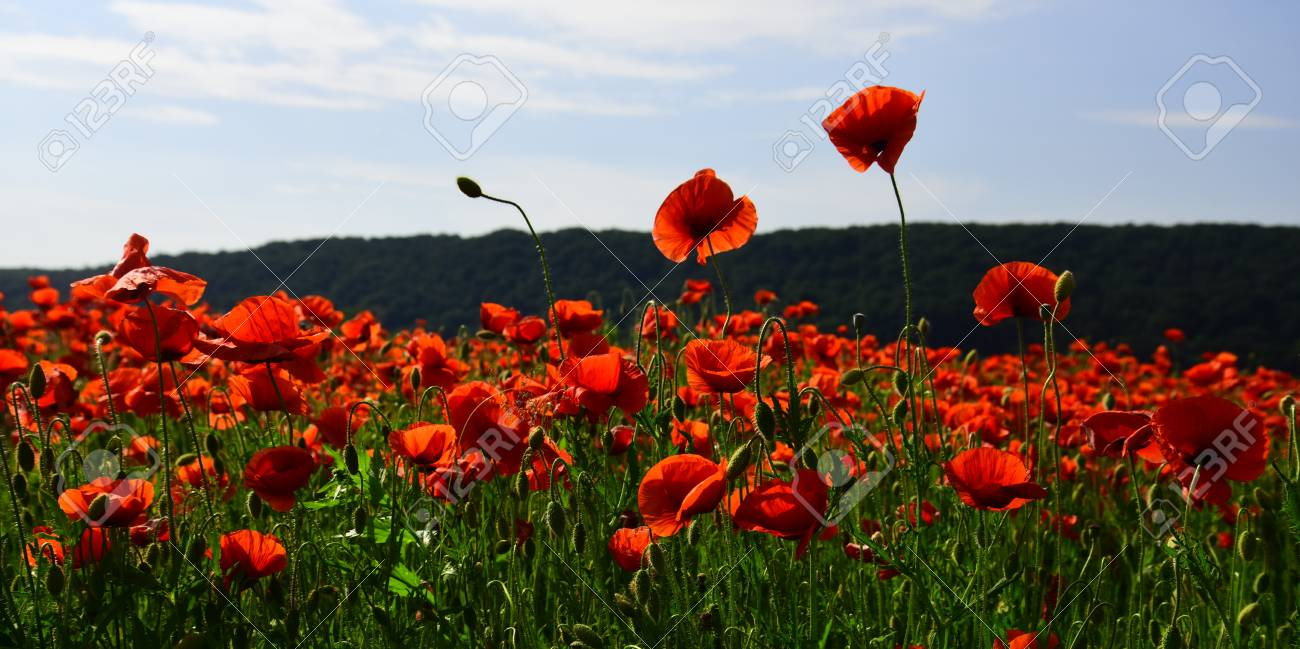 Poppy Seed Flower Pictures Images Fresh Lotus Flowers