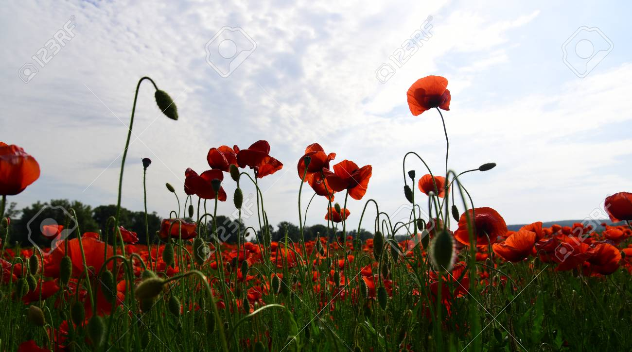 Summer And Spring Landscape Poppy Seed Poppy Flower Field