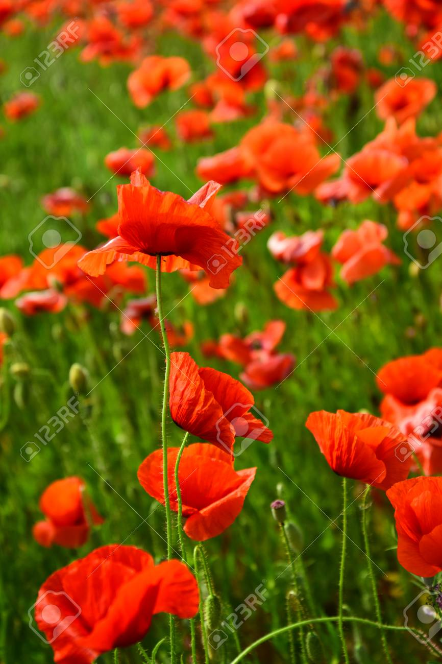 Remembrance day anzac day serenity drug and love intoxication remembrance day anzac day serenity drug and love intoxication opium medicinal mightylinksfo