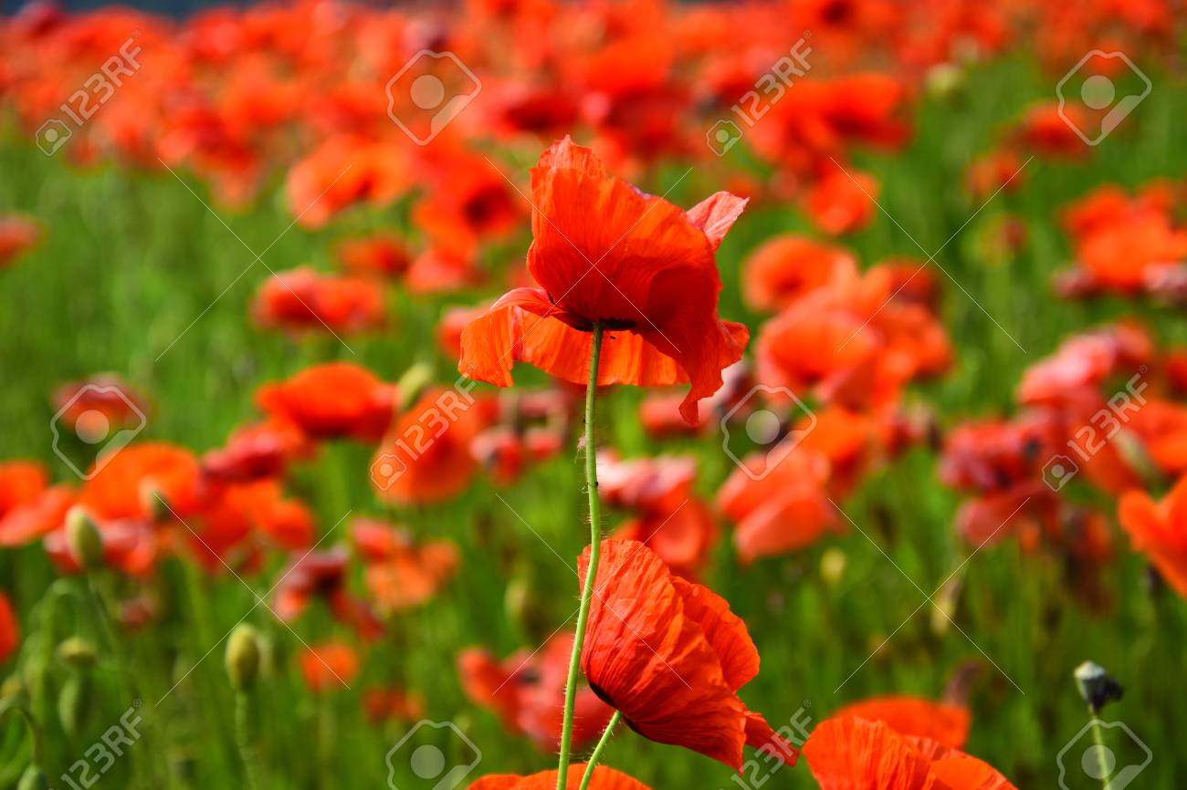 Summer And Spring Landscape Poppy Seed Poppy Flower Field