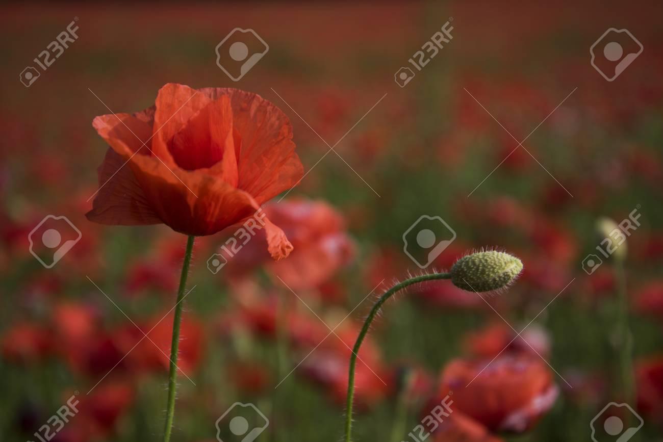 Opium Poppy Botanical Plant Ecology Opium Drug And Love