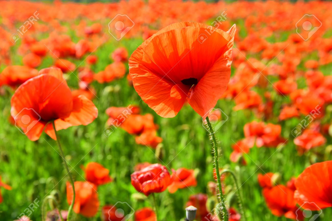 Remembrance Day Anzac Day Serenity Opium Poppy Botanical Stock