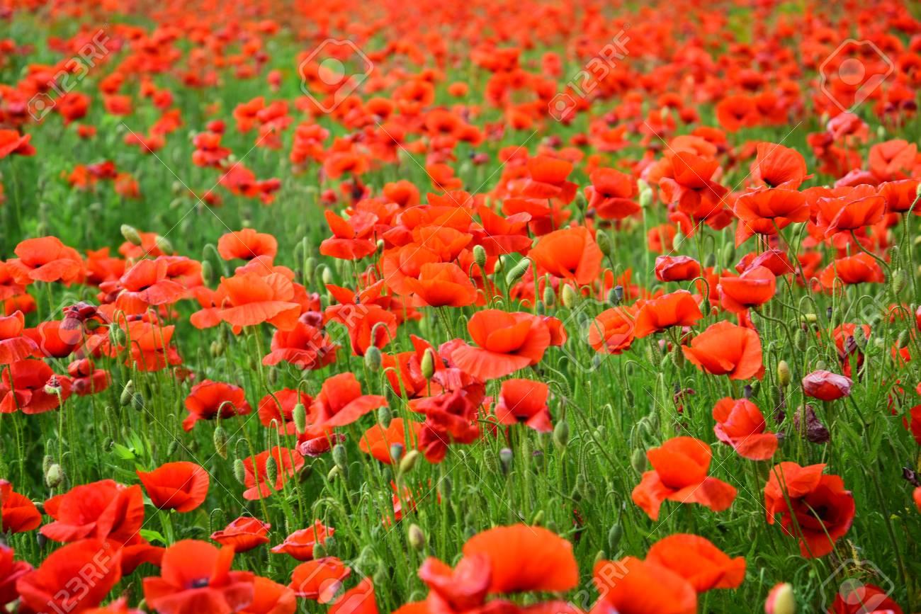 Opium poppy, botanical plant, ecology  Drug and love intoxication,
