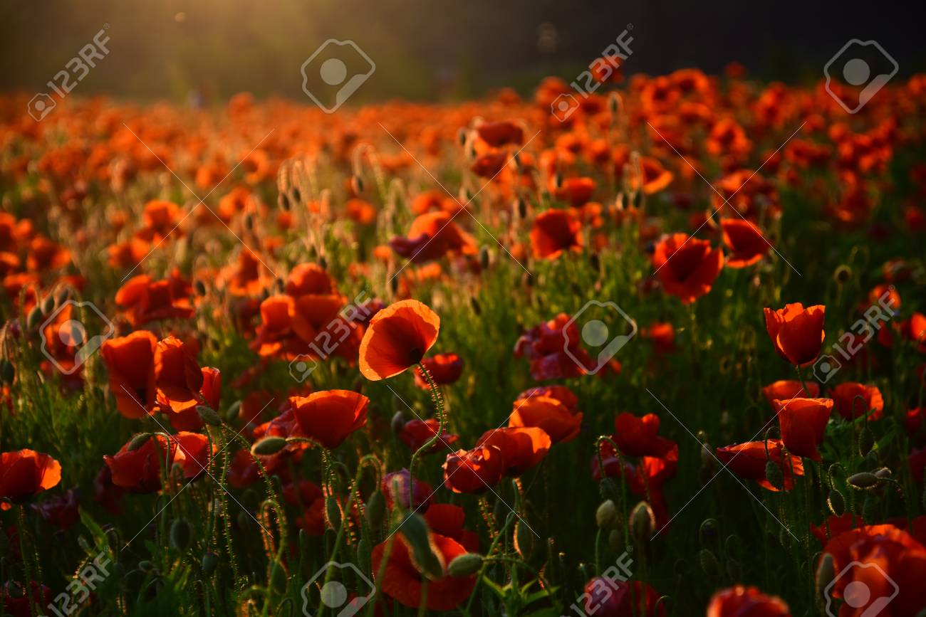 Poppy Flower Remembrance Day Red Flower Field Narcotics Stock