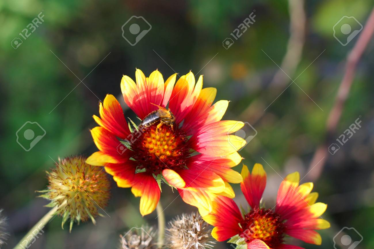 Gaillardia (common name blanket flower), genus of flowering plants