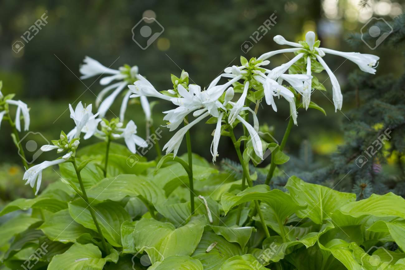 Funkia hosta lancifolia plant with beautiful white flowers stock funkia hosta lancifolia plant with beautiful white flowers growing in the fowerbed stock photo mightylinksfo