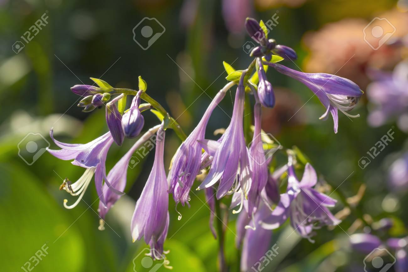 Funkia Hosta Lancifolia Plant With Beautiful Purple Flowers