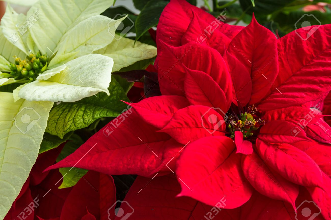 red and white christmas poinsettia plants stock photo - Christmas Poinsettia