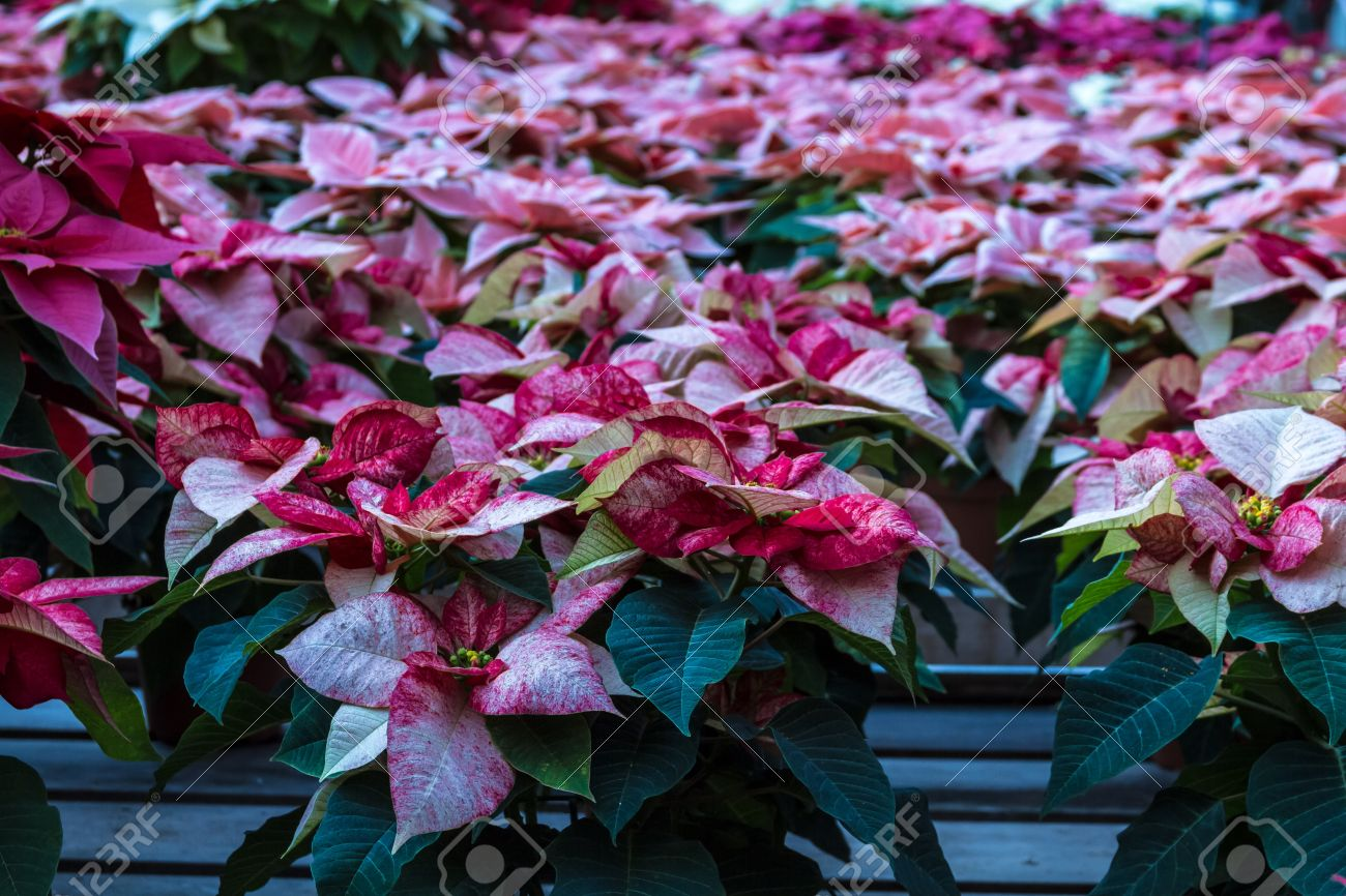 Multi Colored Poinsettias On Display