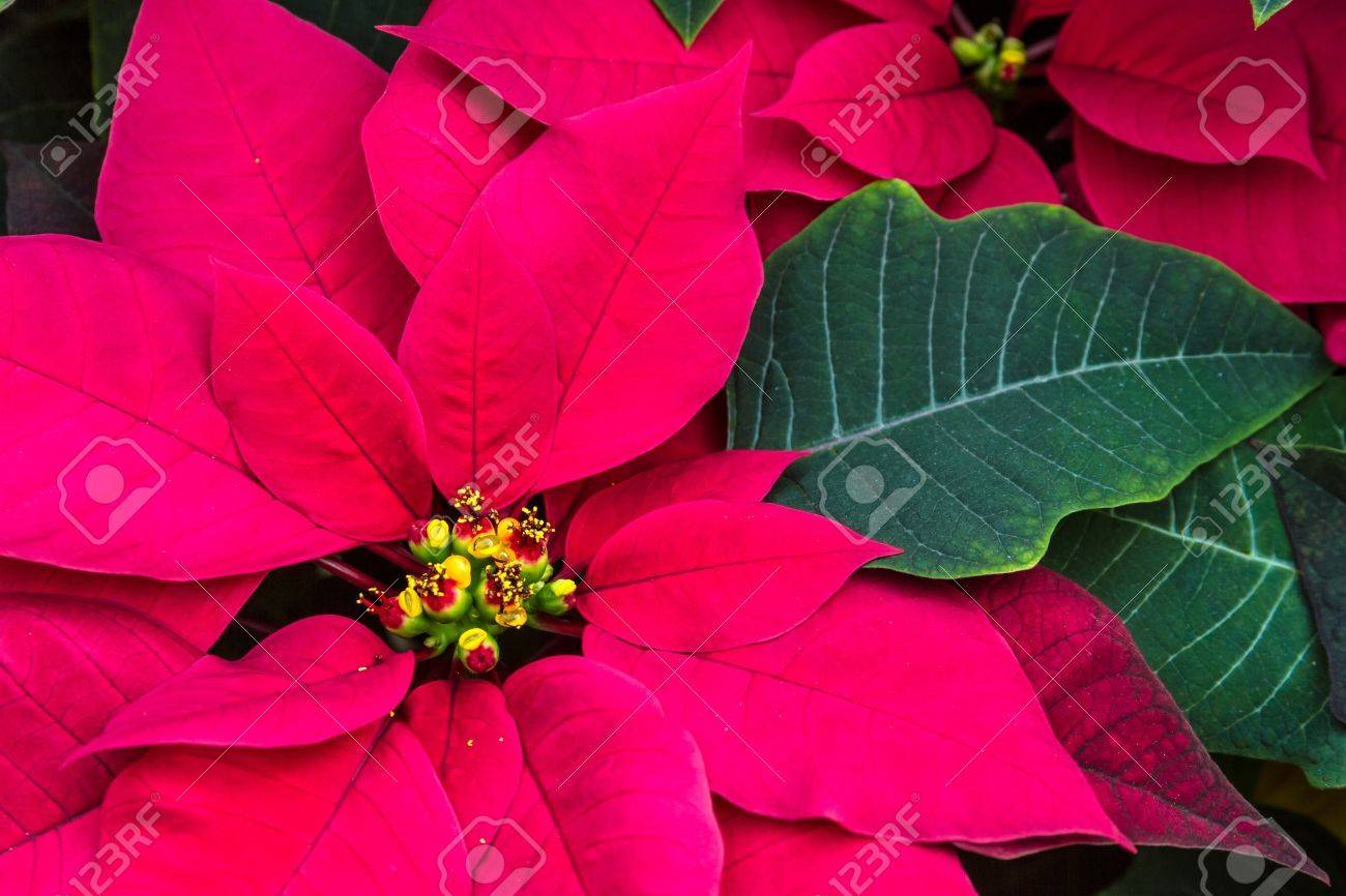 purple poinsettias images u0026 stock pictures royalty free purple