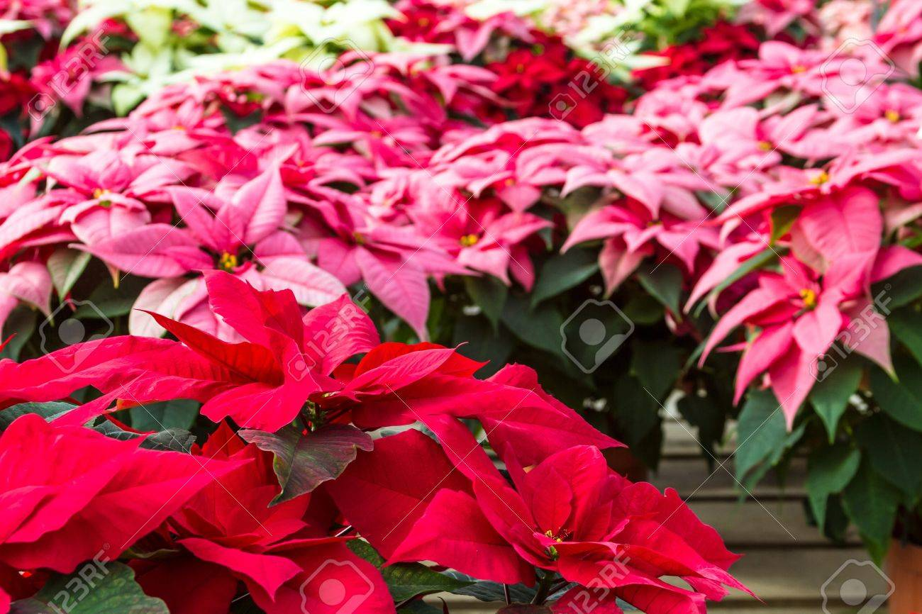 Display Of Multi Colored Poinsettias