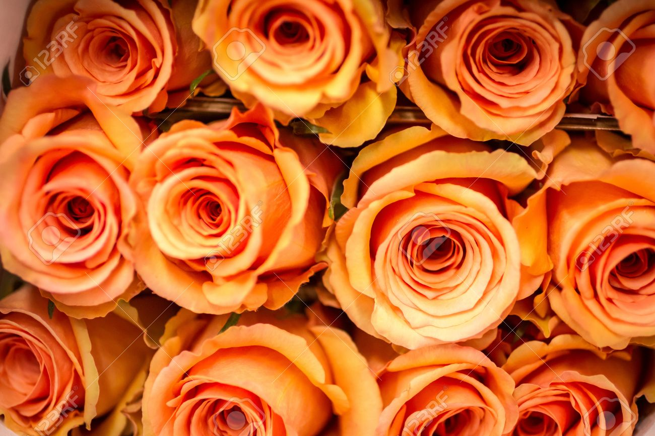Pale Orange rows of pale orange roses stock photo, picture and royalty free